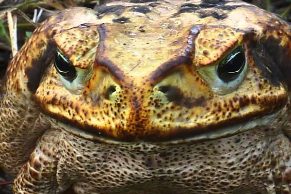 Giant frog face close up