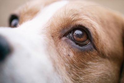closeup portrait of tricolor beagle dog
