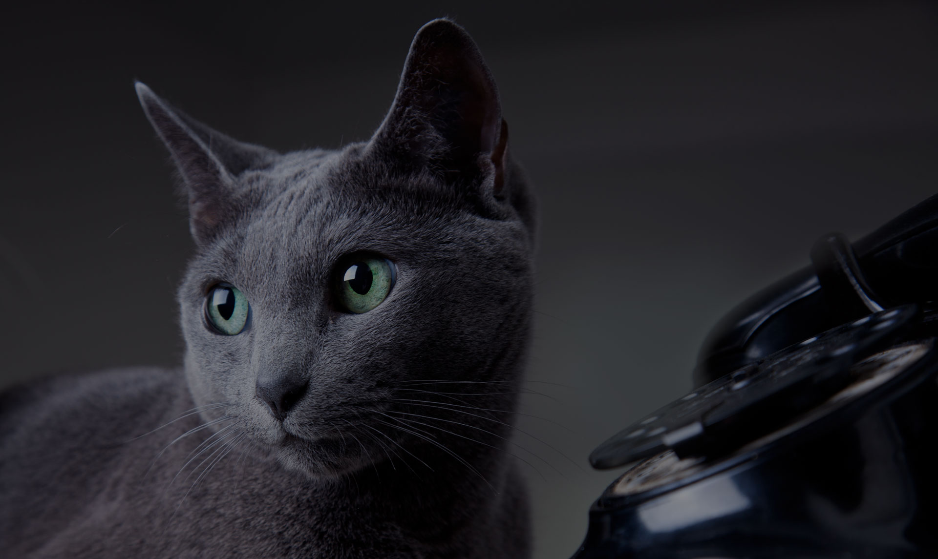 Russian Blue Cat portrait with face close up