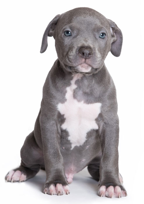 Puppy Pitbull American Bully Isolated