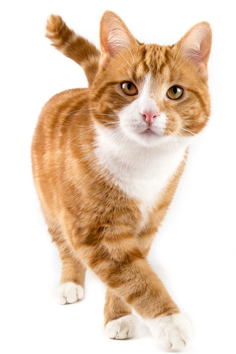 Red male cat walking towards camera