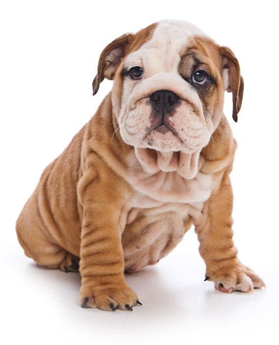 Cute english bulldog puppy