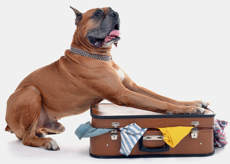 Beautiful Boxer Dog on suitcase isolated on white