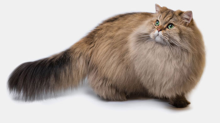 Fluffy British longhair cat isolated on a white background