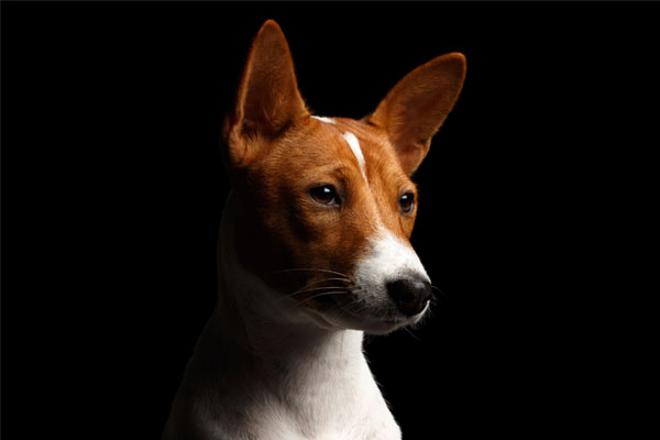 Close-up Funny Portrait White with Red Basenji Dog