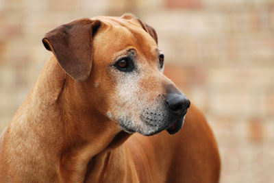Outdoor portrait of an old purebred Rhodesian Ridgeback male dog with alert facial expression in front of blurry background.
