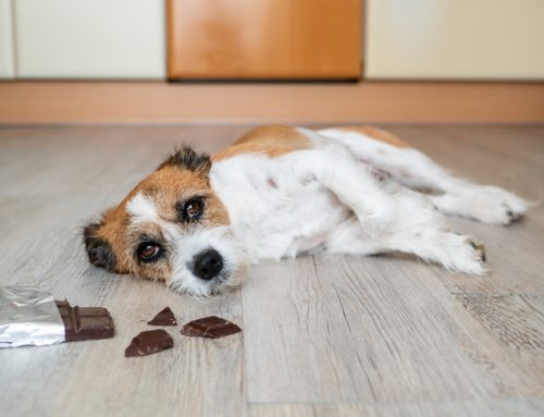 Toxic Emergencies in Pets: Every Second Counts