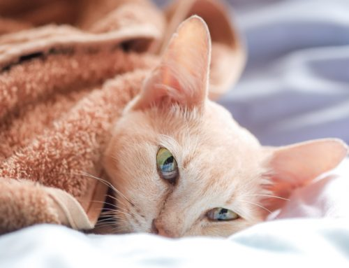 A Cat Owner's Guide to Feline Infectious Respiratory Diseases