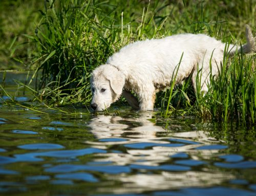 A Dangerous Spiral—Leptospirosis in Dogs